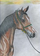 Wild Horses Drawings - Proud Arabian  by Don  Gallacher