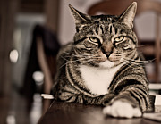 Alertness Photos - Proud Cat by Olga Tremblay