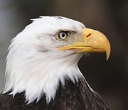American Bald Eagle Photos - Proud Eagle by Angie Vogel