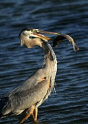 Heron Photos - Proud Fisherman by Sabrina L Ryan