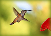 Hummingbird In Flight Posters - Proud Hummingbird Poster by Carol Groenen