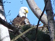 Symbolize Posters - Proud mother Eagle with week old Eaglet Poster by Mitch Spillane