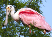 Spoonbill Photos - Proud Papa by Kenneth Albin