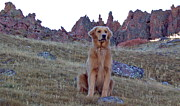 Golden Settings Pet Photography Photos - Proud Summit Pup by Kara Kincade