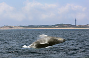 Whale Photo Originals - Provincetown Breaching by Lori Whalen