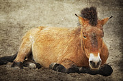 Wild Horse Mixed Media Metal Prints - Przewalski-Horse Metal Print by Angela Doelling AD DESIGN Photo and PhotoArt