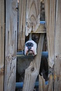 Boxer Dog Photo Framed Prints - Psst Help Me Outta Here Framed Print by DigiArt Diaries by Vicky Browning