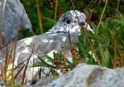 Baker Island Photos - Ptarmigan by Louie Rochon