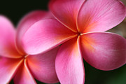 Flowering Trees Prints - Pua Lei Aloha Cherished Blossom Pink Tropical Plumeria Hina Ma Lai Lena O Hawaii Print by Sharon Mau