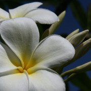 Light Greeting Cards Prints - Pua Lena Pua Lei Aloha Tropical Plumeria Maui Hawaii Print by Sharon Mau