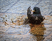 Starling Metal Prints - Public Bathing Metal Print by Bob Orsillo