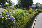 Chatham Prints - Public Garden With Blooming Hydrangeas Print by Darlyne A. Murawski