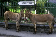 Donkey Photo Metal Prints - Public Toilet Metal Print by John Greim