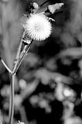 Floral Prints Framed Prints - Puff Ball In Black and White Framed Print by M K  Miller