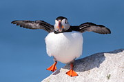 Puffin Dance Print by Bruce J Robinson