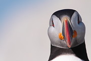 Seabirds Photos - Puffin Mug Shot by Bruce J Robinson