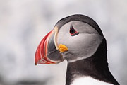 Puffin Photo Posters - Puffin Profile II Poster by Bruce J Robinson