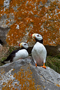 Sensory Perception Art - Puffins On A Lichen-covered Cliff Horned Puffins, Fratercula Corniculata, Lake Clark National Park, Alaska, Usa by Mint Images/ Art Wolfe