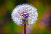 Isolated Digital Art Prints - Puffy Dandelion on Pastels Print by Bill Tiepelman