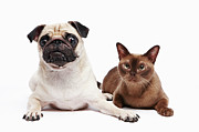 Two By Two Posters - Pug And Burmese Cat Poster by Ultra.f