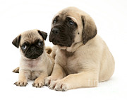 English Mastiffs Photos - Pug And English Mastiff Puppies by Jane Burton
