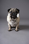 Obedience Posters - Pug Dog Holding Toy Bone, Grey Background Poster by Chris Amaral