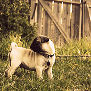 Collar Prints - Pug Pose Print by Taryn