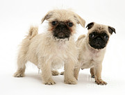 Pups Photos - Pugzu And Pug Puppies by Jane Burton