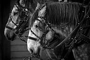 Horse And Wagon Photos - Pulling our weight by Steve Russell