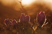 Pasque Flower Digital Art - Pulsatilla vulgaris by Rikard  Olsson