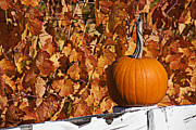 Grapevines Posters - Pumpkin on white fence post Poster by Garry Gay