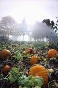 Fertilizing Prints - Pumpkin Patch, British Columbia Print by David Nunuk