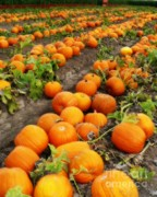 Patches Posters - Pumpkin Patch Poster by Carol Groenen