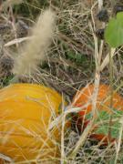 Colorers Of Fall Photo Prints - Pumpkin Pickers Print by Debra     Vatalaro