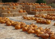 Bales Framed Prints - Pumpkins on Bales Framed Print by Carol Groenen