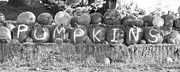 Decorative Art - Pumpkins P U M P K I N S BW by James Bo Insogna
