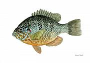 Panfish Framed Prints - Pumpkinseed Sunfish Framed Print by Sean Seal