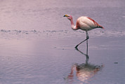 Flamingos Art - Puna Flamingo Phoenicopterus Jamesi by Pete Oxford