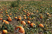 Autumn Photographs Photos - Punkin Patch by Melany Sarafis