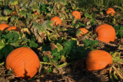 Pumpkin Patch Photos - Punpkin Patch in the Fall by Douglas Barnett