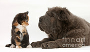 Felis Domesticus Framed Prints - Pup & Kitten Making Friends Framed Print by Mark Taylor