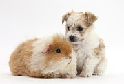 Bichon Frise Photos - Pup And Guinea Pig by Mark Taylor