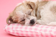 Frise Posters - Pup Asleep On Cushion Poster by Mark Taylor
