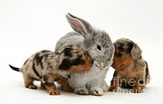 Dachshund Puppy Framed Prints - Puppies And Rabbit Framed Print by Jane Burton
