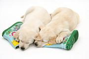 Sleeping Dog Prints - Puppies And Rainboots Print by Jane Burton