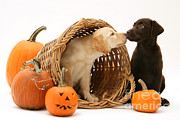 Chocolate Lab Photos - Puppies At Halloween by Jane Burton