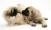 Pekingese Framed Prints - Puppies Framed Print by Jane Burton