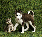 Husky Photos - Puppies On Background by Catherine Ledner