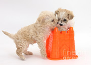 Puppies Playing Posters - Puppies Playing With Bucket Poster by Mark Taylor