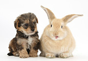 Sticking Out Prints - Puppy And Rabbit With Tongue Sticking Print by Mark Taylor